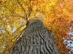 Tall Oak Tree in Autumn Colors